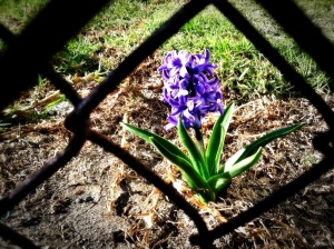 flowers-through-a-fence